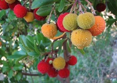 Strawberry Tree Koumaria