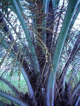 Look For Short Spines On Each Side Of The Frond Fruit Pindo Palms