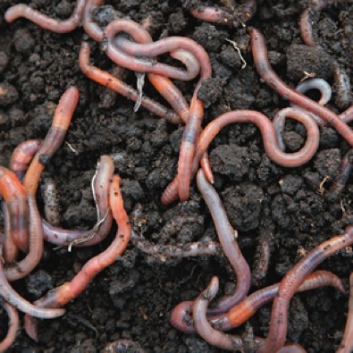 what is unique about an earthworms diet